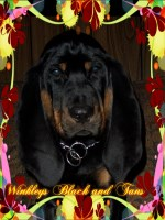 Black And Tan Coonhound for sale