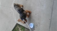 Yorkshire Terrier Yorkshire Terrier for sale/adoption