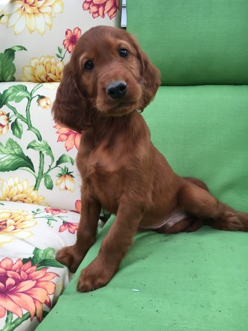Irish Setter puppy for sale + 50304