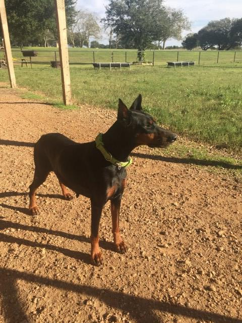 Doberman Pinscher puppy dog for sale in Moulton, Texas