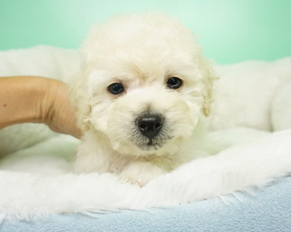 Maltipoo puppy for sale + 54197
