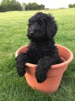 Adorable Labradoodles--Multi gen Labradoodle for sale/adoption