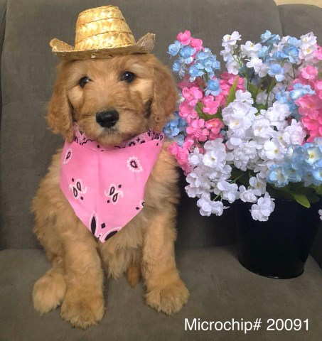 Goldendoodle puppy for sale + 52640