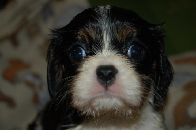 Cavalier King Charles Spaniel puppy dog for sale in ...
