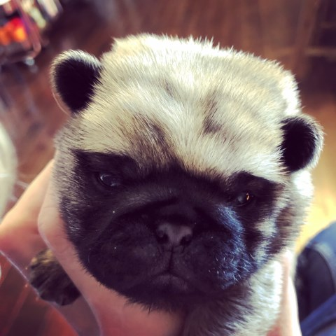 Pug puppy for sale + 56018