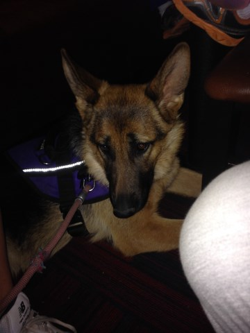 German Shepherd Dog Puppy Dog For Sale In Idaho Falls Idaho