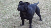 Staffordshire Bull Terrier Puppies - AKC Staffordshire Bull Terrier for sale/adoption