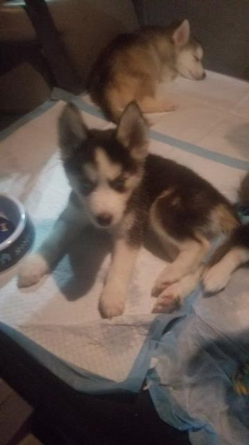 Siberian Husky puppy for sale + 58499