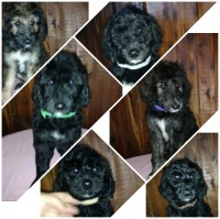 Poodle/afghan mix which are call pooghans Poodle Standard for sale/adoption