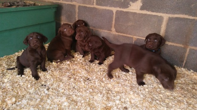 "7 AKC Chocolate Labrador  Puppies ""5 Weeks Old"""