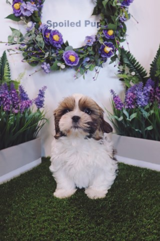 Shih Tzu puppy for sale + 52784