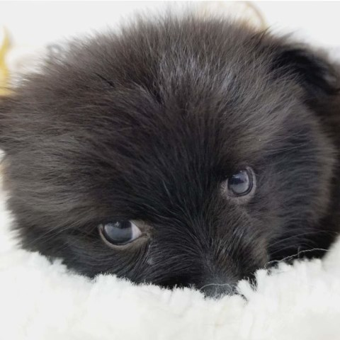 Pomeranian puppy for sale + 53655