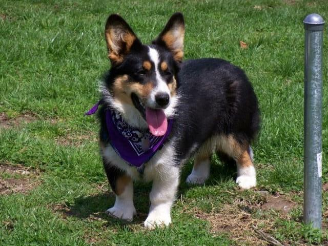 Cardigan Welsh Corgi Puppy Dog For Sale In Middleburg Pennsylvania