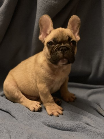 French Bulldog puppy for sale + 55751