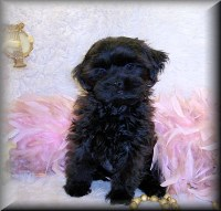 Shih Tzu Puppies And Dogs For Sale Near You