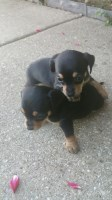 Dachshund (Doxie) for sale