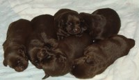 AKC ENGLISH CHOCOLATE LABRADOR PUPPIES Labrador Retriever for sale/adoption