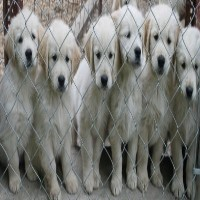 English Cream Golden Retriever Puppies For Sale Golden Retriever for sale/adoption