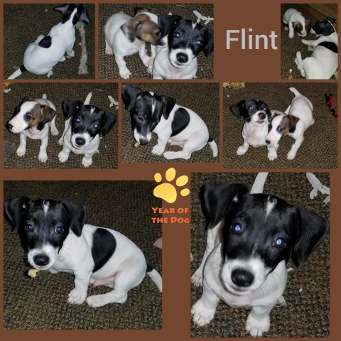 Jack Russell Terrier puppy for sale + 53590