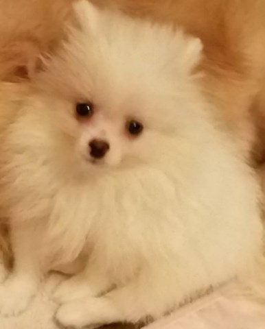 Pomeranian puppy for sale + 54988