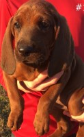 Redbone Coonhound Puppies And Dogs For Sale Near You