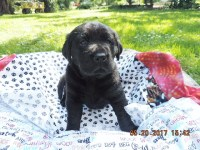 AKC BLACK LABS PUPPIES FOR SALE $ 700.00 Labrador Retriever for sale/adoption