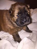 Chow Chow Puppies for Sale (4 boys - 1 black, 2 cinnamon, 1 white and 1 girl - red) Chow Chow for sale/adoption