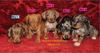 Beautiful Smooth Coat Miniature Dachshund Dachshund for sale/adoption