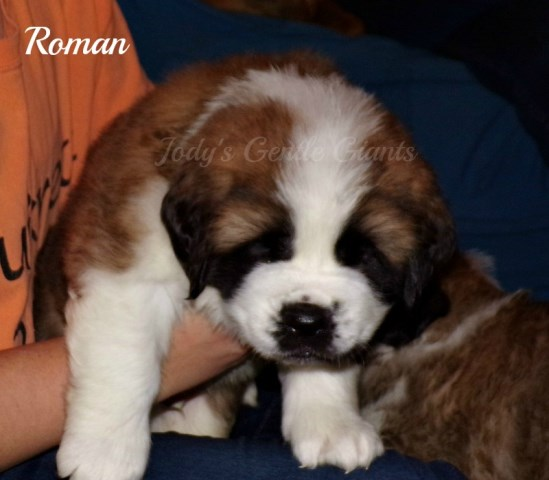 Saint Bernard Puppy Dog For Sale In Elkland Missouri