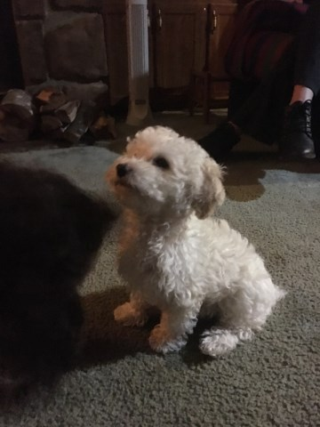Poodle Miniature Puppy Dog For Sale In Fayetteville North