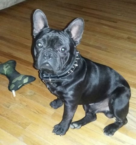 French Bulldog Puppy Dog For Sale In Peoria Illinois