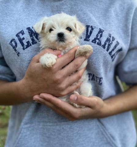 Maltipoo puppy for sale + 59333