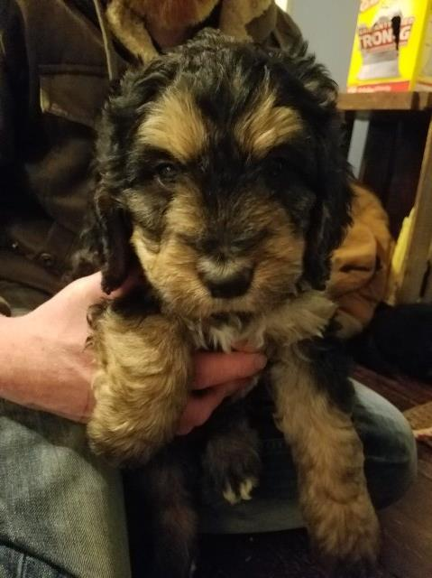 Bernese Mountain Dog Puppy Dog For Sale In Tipp City Ohio