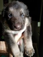 German Shepherd Puppy Male AKC German Shepherd Dog for sale/adoption