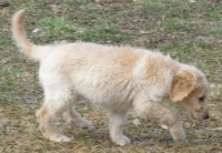 First Generation Labradoodle Puppies Labradoodle for sale/adoption