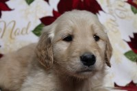 AKC Golden Retrievers Golden Retriever for sale/adoption