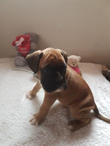 Beautiful Litter 2 Boys Boxers Puppies Left