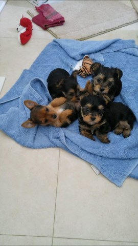 Yorkshier terrier (yorkie) puppies for sale
