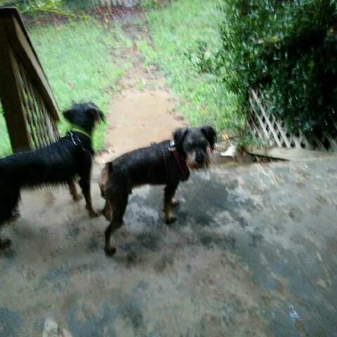Standard Schnauzer puppy dog for sale in Sylva,, North ...