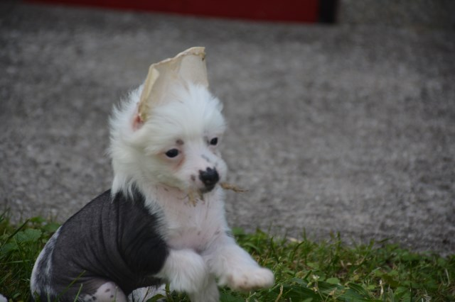 Chinese Crested blue Eyed Female AKC
