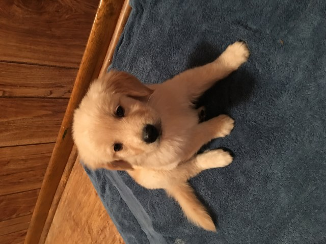 Golden Retriever puppy dog for sale in Crossville, Tennessee