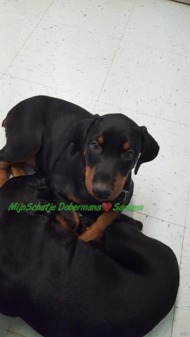 AKC Black/rust Male Samson