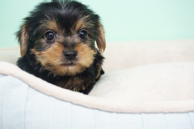 Yorkshire Terrier puppy for sale + 54307