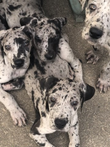 Great Dane Puppy Dog For Sale In Rochester New York
