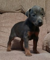 Search Locally For Doberman Pinscher Puppies And Dogs Nearest You Freedoglistings Page 1