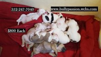 XL American Pit Bully Puppies American Pit Bull Terrier for sale/adoption