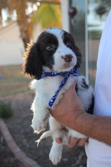 English Springer Spaniel puppy dog for sale in mesa, Arizona
