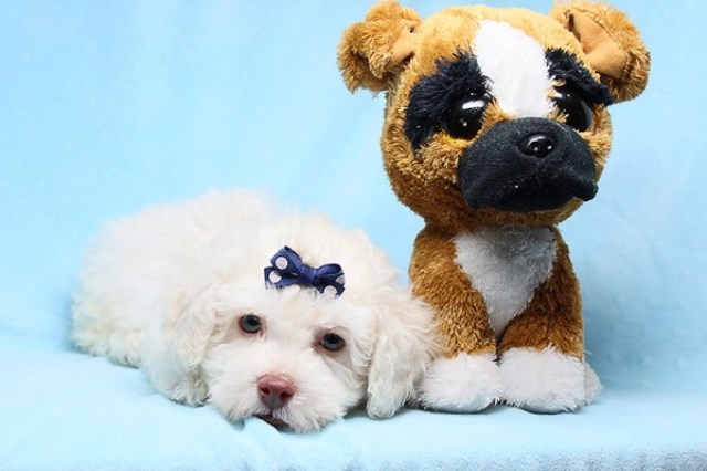 Cute And Adorable Maltipoo Puppies for Sale in Las Vegas! Financing and Shipping Available!