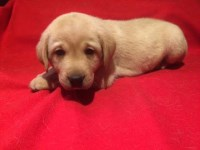 Labrador Puppies For Sale Labrador Retriever for sale/adoption