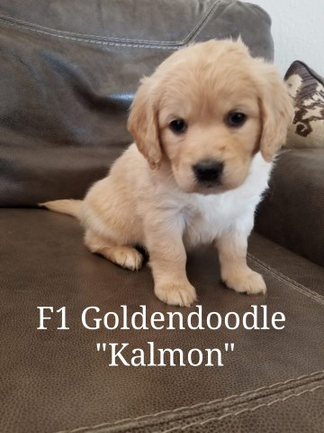 Goldendoodle puppy for sale + 56768